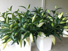 OT Hybrid Lily - White (20 stems)