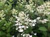 Lace Style Hydrangea (round heads)- 50 stems