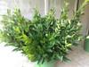 Forsythia Greens- 50 stems