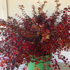 Fire Red 'Little Twist' - 50 stems