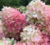 'Autumn Pink' Hydrangea - 50 stems