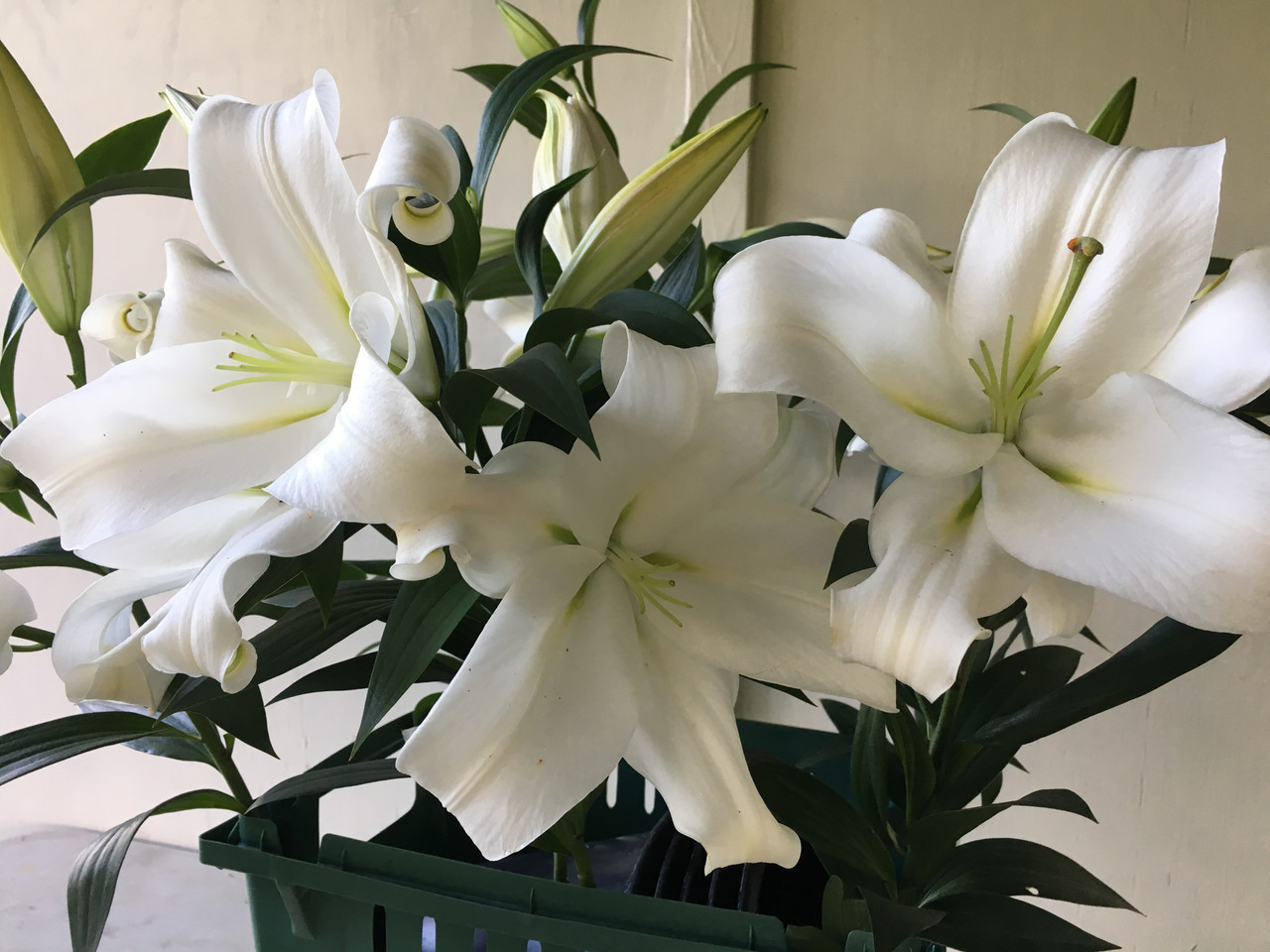 White Hybrid Lily From Mountain Flower Farm