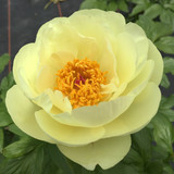 The value of a single peony root to fresh cut flower growers