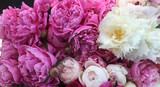 Pruning Peony Buds for Maximum Yield In Newly Established Plantings