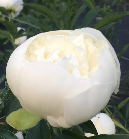 'Duchesse de Nemours' - 100 stems