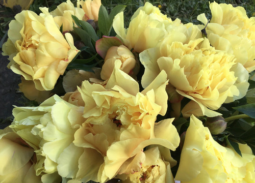 For Floral Designers Peony Yellow Mountain Flower Farm Vt