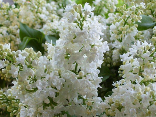 Lilac (white) - 5 bunches