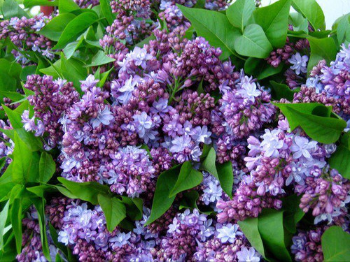 Lilac (purple) - 5 bunches