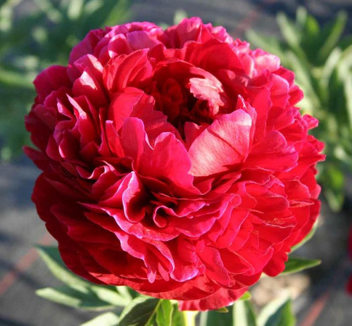 'Henry Bockstoce' - 50 stems