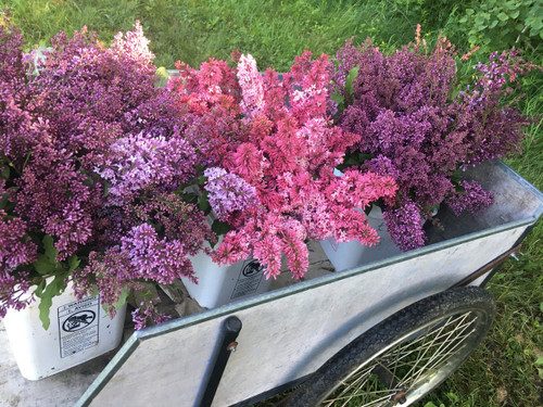 """Late"" Lilac - Rose - 10 bunches"