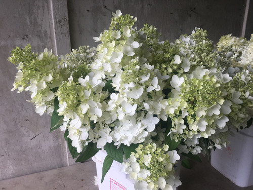 'ZinfinDoll' - 50 stems