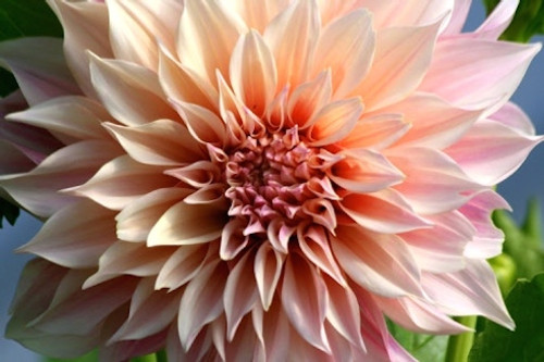 'Cafe Au Lait' Dahlia - 100 stems