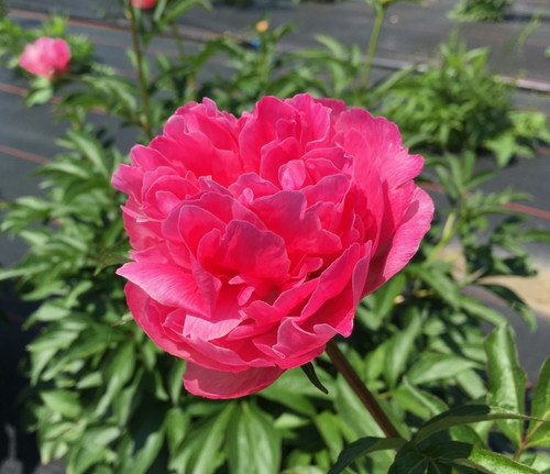 'Carnation Bouquet' - 100 stems