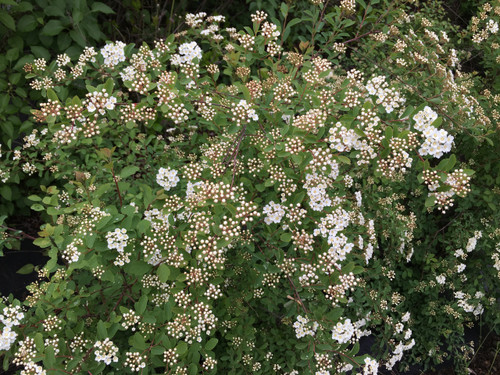 Spirea - 'Bridal Wreath' - 5 bunches