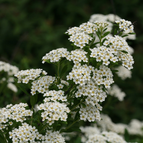 Spirea - 'Snowmound' - 5 bunches