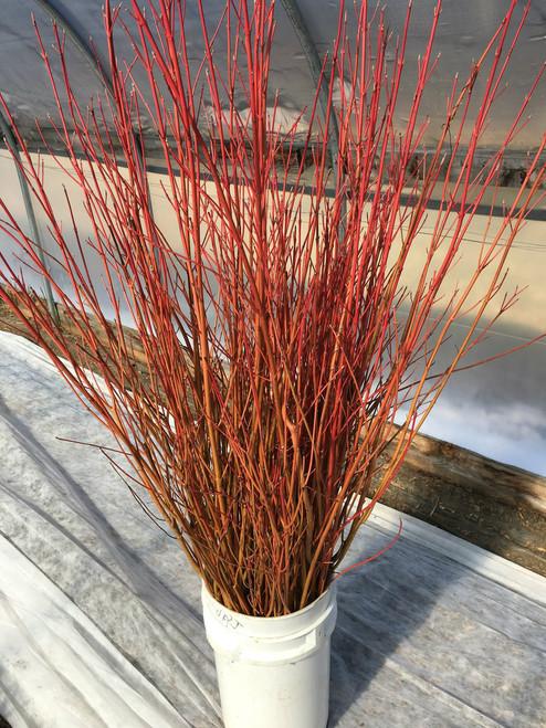"Glowing Coral Dogwood -36"" - 50 stems"