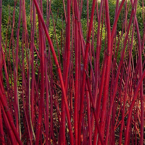 "Bull's Blood Dogwood Branches - 36"" - 50 stems"