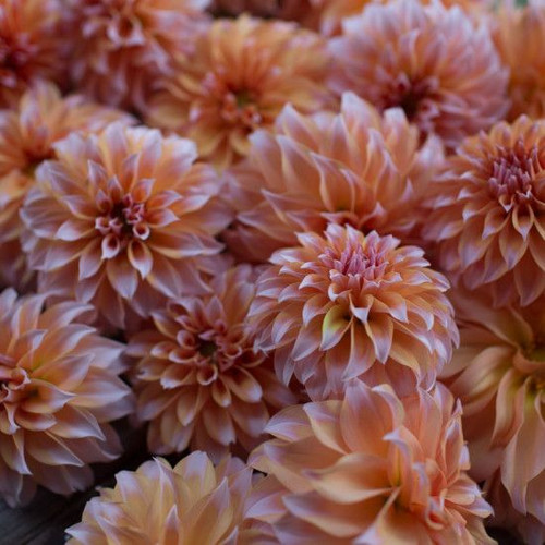 Peaches n' Cream Dahlia Tubers - (10)