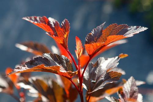 Ninebark (Physocarpus) - 10 bunches