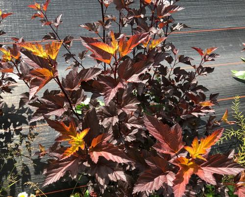 Ninebark (Physocarpus) - 50 stems