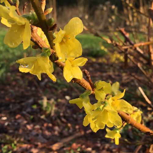 Forsythia - 10 bunches