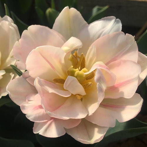 Tulip - Angelique (50 Stems)