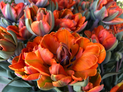 Tulip 'Orange Princess' - 50 stems
