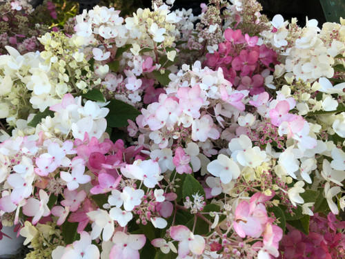 Hydrangea Sampler - 50 stems