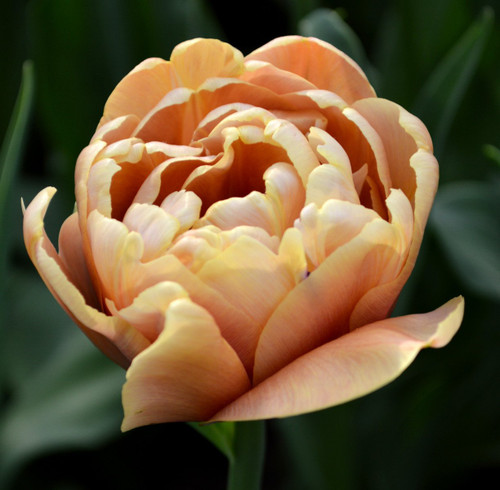 Tulip 'La Belle Epoque' -  50 stems