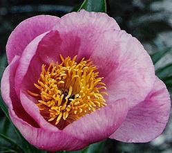 roselette.jpg
