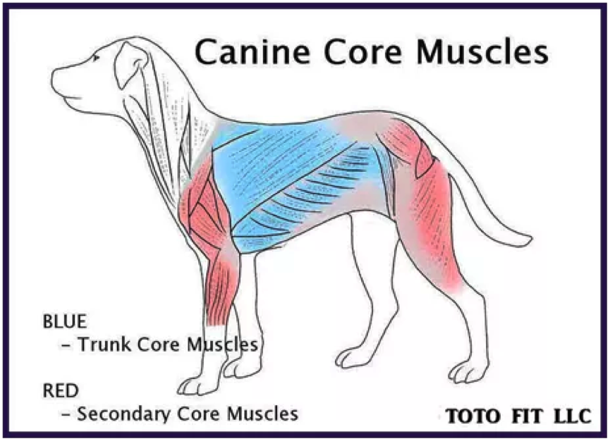 canine-core-muscles.png