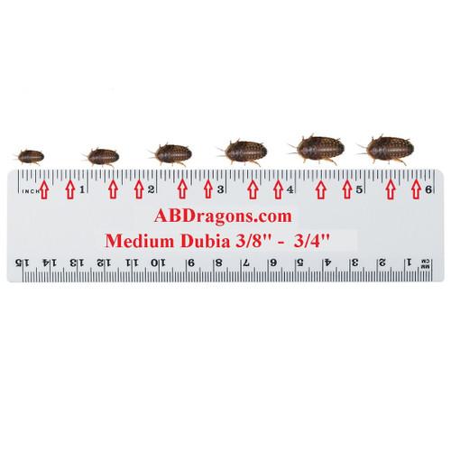 """Dubia Roaches Medium 3/8"""" to 3/4"""""""