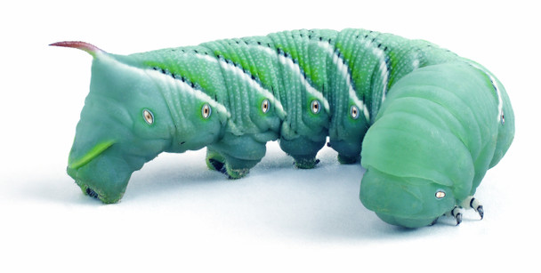 """Hornworms aka Goliath Worms- 1/2"""" to 3/4""""- 25/cup"""
