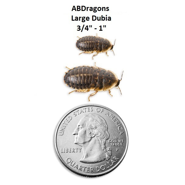 """Dubia Roaches Large 3/4"""" - 1"""" Not Adults"""