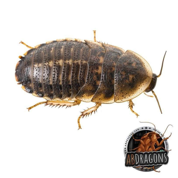 """Dubia Roaches 1"""" and Up"""