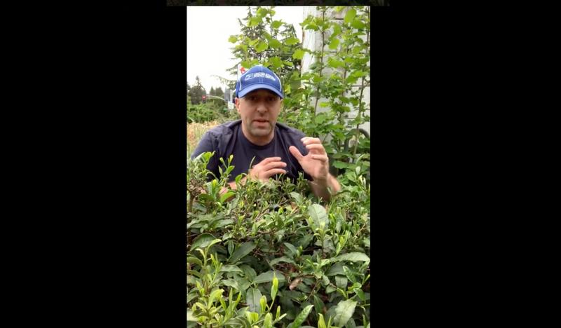 How to process the tea you grow... camellia sinensis