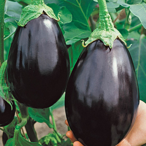 Urban Harvest Seeds - Black Beauty Eggplant
