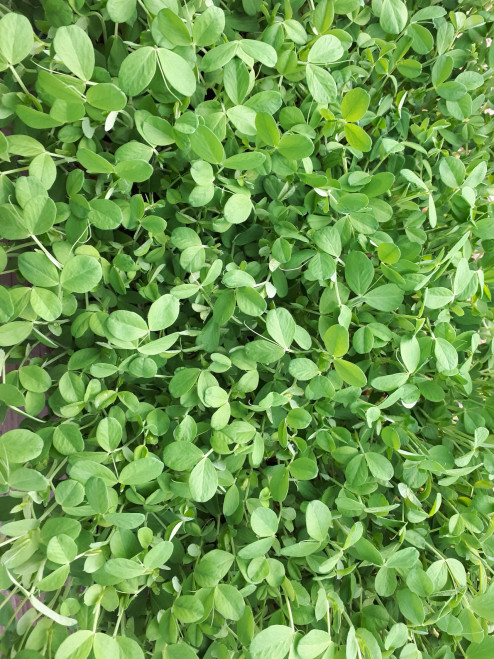 Organic Pea Sprouts - Three Forks Farms