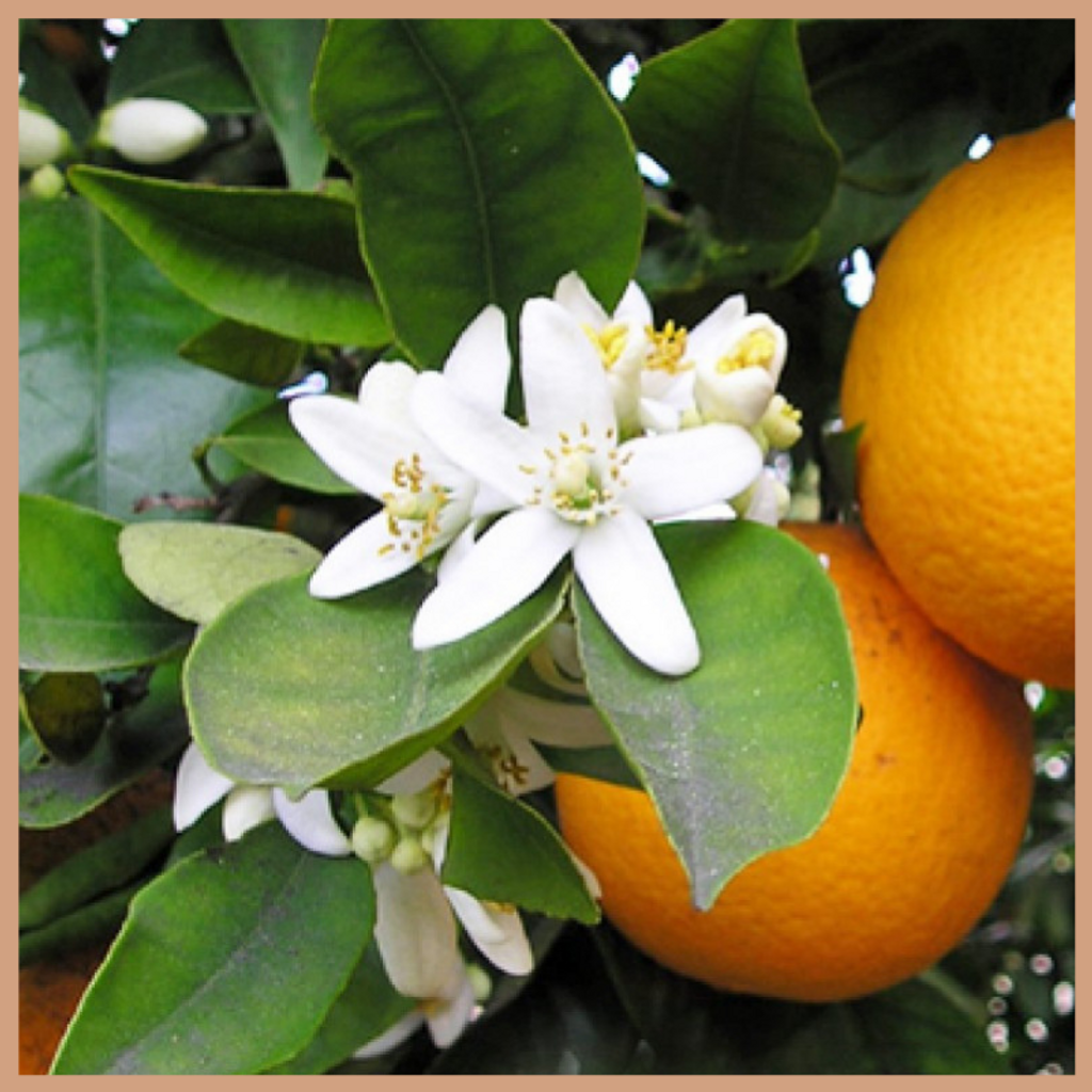 Neroli & Ylang Ylang Fragrance Oil