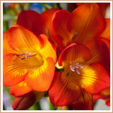 Freesia Candle Making Fragrance Oil