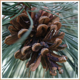 Pine Candle Making Fragrance Oil