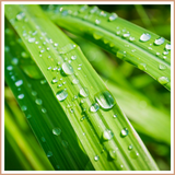 Lemongrass Candle Making Fragrance Oil