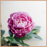 Lychee & Peony Fragrance Oil