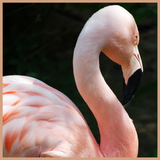 Pink Flamingo Fragrance Oil