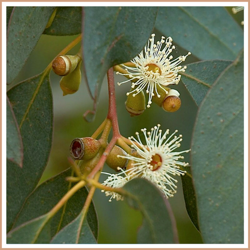 Eucalyptus Candle Making Fragrance Oil