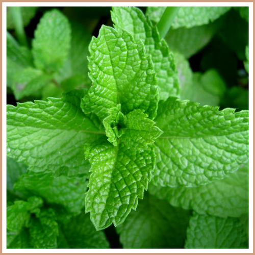 Peppermint Candle Making Fragrance Oil