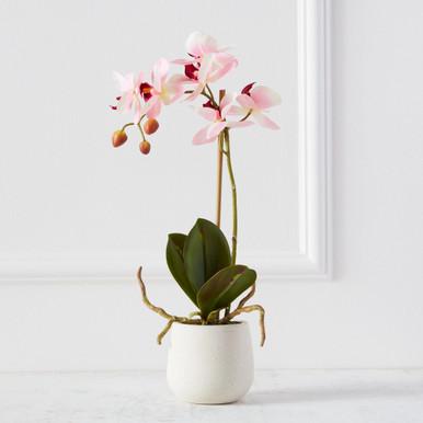 Phaleanopsis Spray In Ceramic Pot
