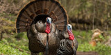 What Kinds of Wild Turkeys Are in the US?