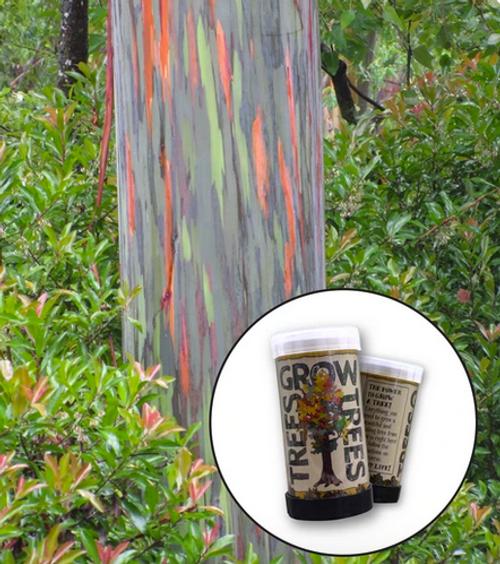 Rainbow Eucalyptus | Mini-Grow Kit