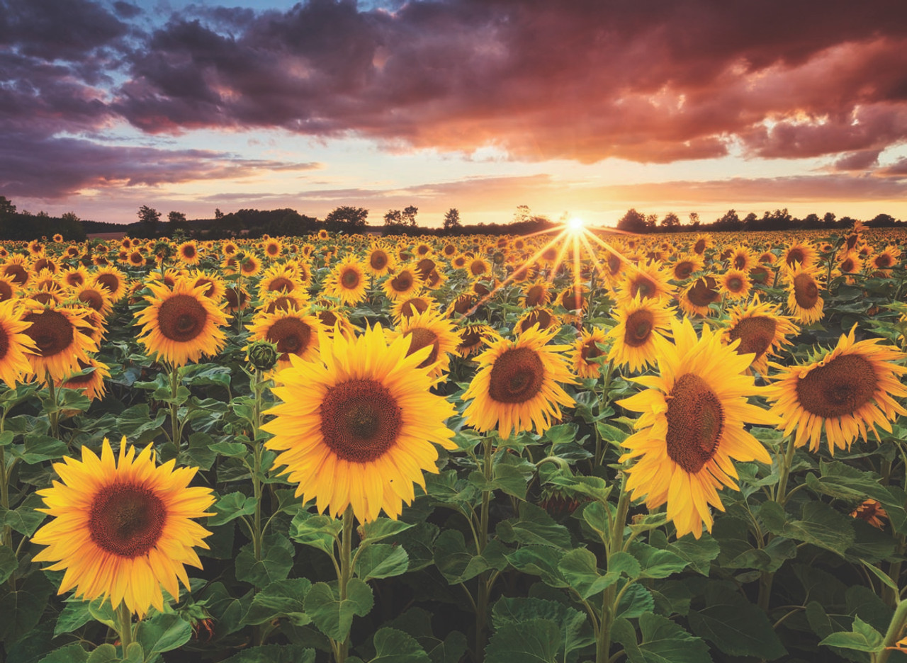 Field of Sunflowers at Dusk - 1000pc Jigsaw Puzzle by Anatolian - SeriousShops.com
